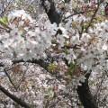 車窓から見る満開の桜