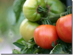 tomato06[1]